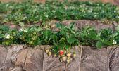 Organic strawberry fields on the morning — Stock Photo