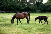 Mare with foal on the pasture — Stock Photo