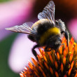 A macro shot of a Bumblebee on top of a pink coneflower  — Stock Photo