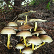 Постер, плакат: Group of poisonous mushrooms in a forest