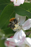 A bumble-bee collecting pollen on a flower apple tree — Stock Photo