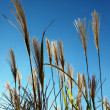 Stock Photo: Ornamental garden grass against blue sky