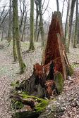 Rotten tree stump — Stock Photo