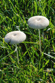 White mushrooms in the grass — Stock Photo