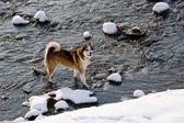 Bitch West Siberian Laika walking in winter — Stock Photo