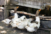Drinking trough for geese — Stock Photo