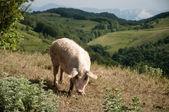 猪在草地上 — 图库照片