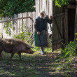 Unidentified old woman lets go its pig go home — Stock Photo #47388429