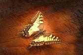 Swallowtail — Stock Photo