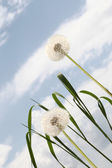 Dandelion background blue sky — Stock Photo