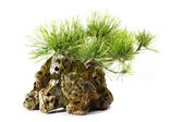Pinus Mugo with branches and leaves in the rock  — Stock Photo