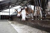 Fattoria di mucche — Foto Stock