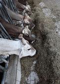 Cows farm — Stock Photo