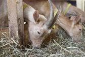Goats eating hay on the farm — Zdjęcie stockowe