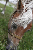 Horse head eating green grass — Stock Photo