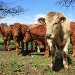 Herd of cows — Stock Photo #36226619