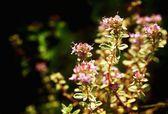 Thyme growing — Stock Photo