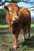 Cow closeup — Stock Photo