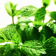 Mint plant — Stock Photo