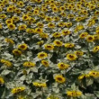 Sunflowers — Stock Video