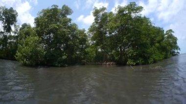 Mangrove trees — Stock Video