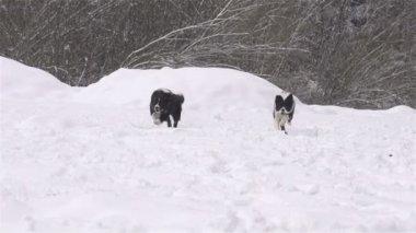 Taze kar altında çalışan köpek — Stok video