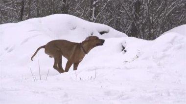 Dog having fun in winter — Stock Video