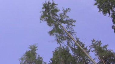 Big spruce tree falling down — Stock Video