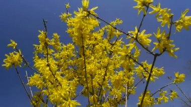 Yellow flower Forsythia — Stock Video