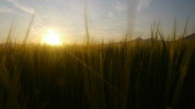 пшеничное поле на закате — Стоковое видео