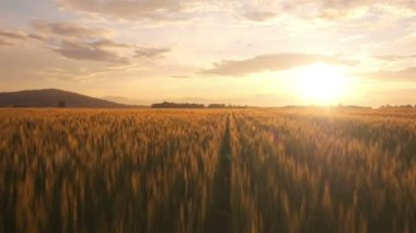 Wheat field in sunset — Stock Video