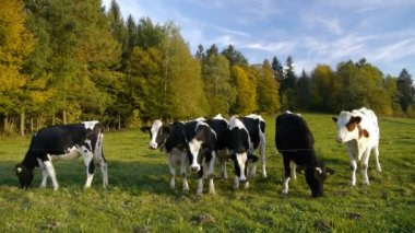 Cows on a pasture — Stock Video