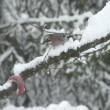 Stock Video: Jay bird in snowy treetop