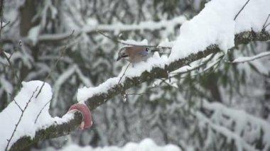 Jay bird in snowy treetop — Stock Video