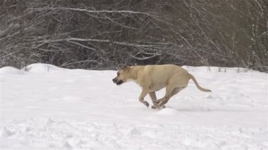 Dog playing fetch in fresh snow — Stock Video