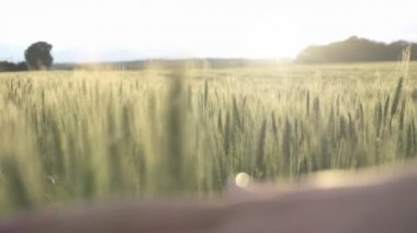 Hand passing over wheat field — Stock Video