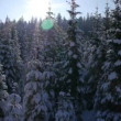 Spruce forest in winter — Stock Video