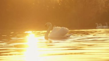Swan at sunset — Stock Video