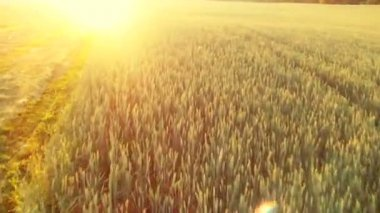 Flight over the wheat field in sunset — Stock Video