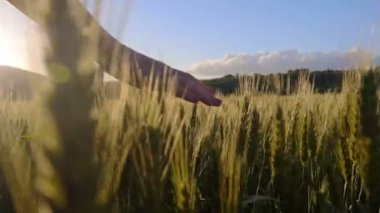 Hand touching the wheat — Stock Video