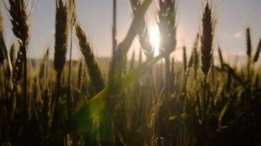 Sun shining through wheat — Stock Video