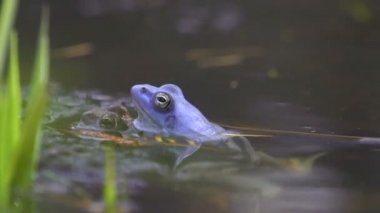 Mating frogs — Stock Video