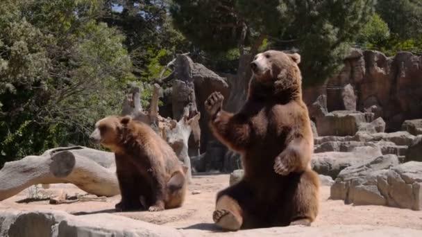 Gros ours mendier de la nourriture — Vidéo