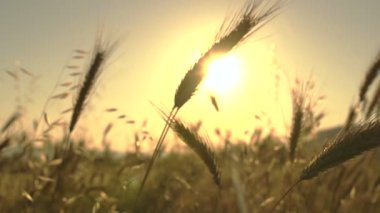 Wheat blades in the sun — Stock Video