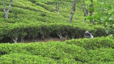 Tea picker — Stock Video