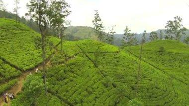 Green tea plantage — Stock Video