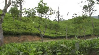 Tea plantage — Stock Video