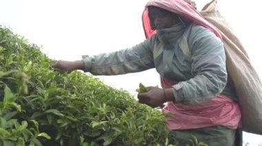 Woman harvesting green tea — Stock Video