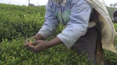 Women harvesting green tea — Stock Video