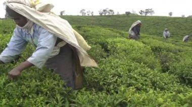 Harvesting green tea — Stock Video